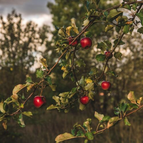 close-up-photography-of-apple-tree-1444630_