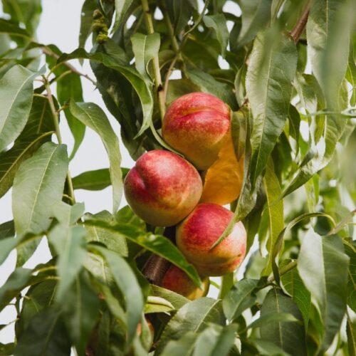 nectarinas-organicas-dulces-arbol-jardin_110879-290-min
